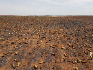 Incêndio fazenda de milho