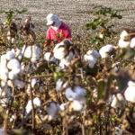 Colheita manual do algodão