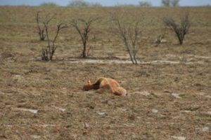 Gado morto após inundação na Austrália