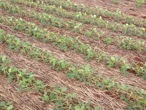 Distribuição equidistante das plantas – 1 planta a cada 8 cm. A população foi de 250 mil plantas/ha.