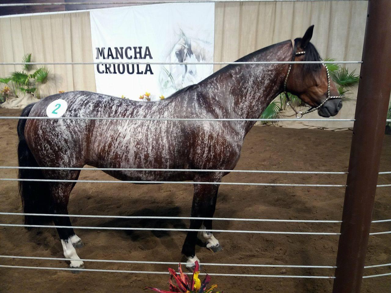 Patron Chico Lambedura, égua importada da Argentina se destacou pela raríssima pelagem: colorada rosilha zebrada