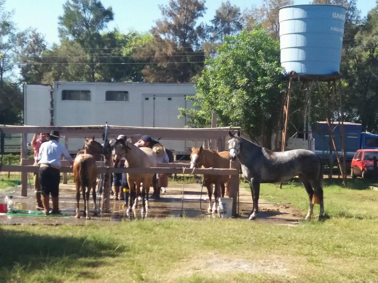 Animais recebem o último banho antes do remate. Apesar do frio, dia está ensolarado em Uruguaiana