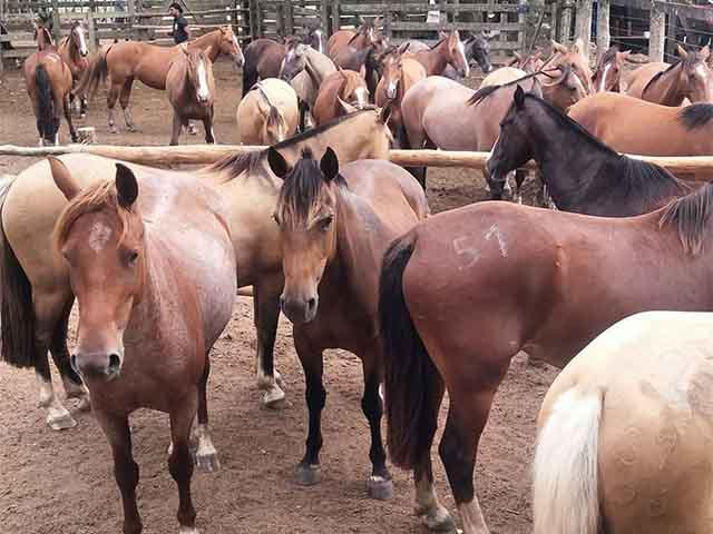 Começam os remates de cavalos crioulos