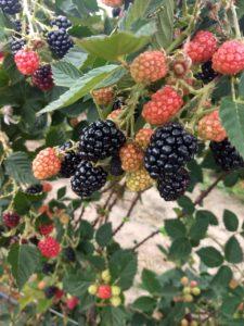 Clima da Chapada favoreceu à produção de frutas vermelhas (Divulgação)
