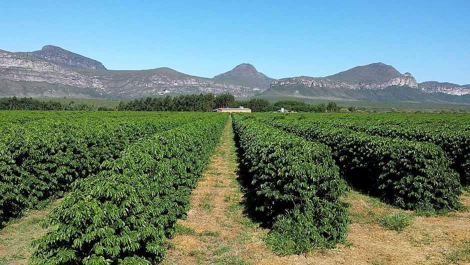 Produção de café na Fazenda Progresso (Divulgação)