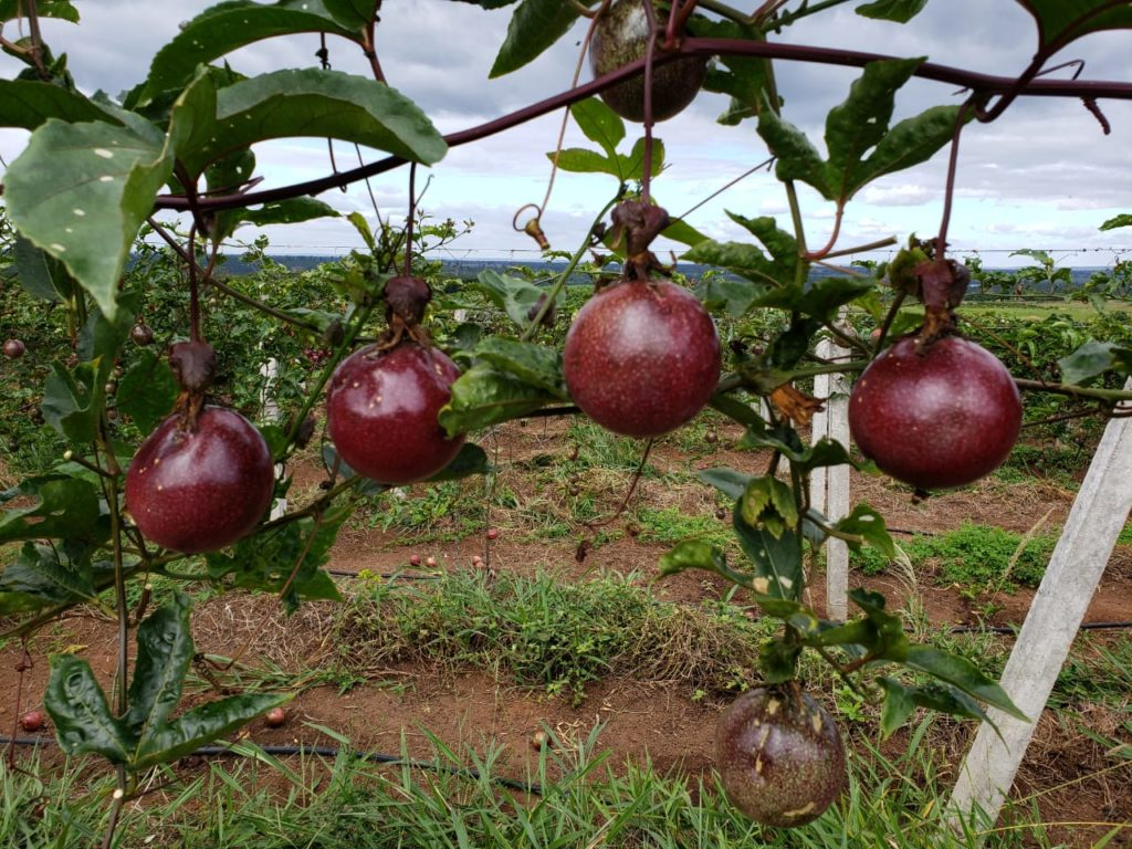 Cultivo de maracujá roxo orgânico em Lençóis Divulgação)