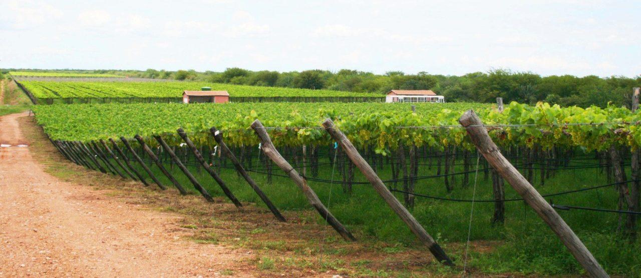 Vale do São Francisco é o maior exportador de uva de mesa do Brasil (Divulgação/Class Comunicação & Marketing)