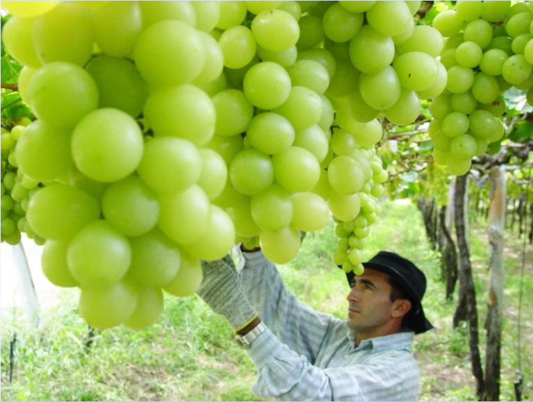 El Valle do San Francisco es el mayor exportador de uvas de mesa en Brasil (Divulgao/Clase Comunicación & Marketing)